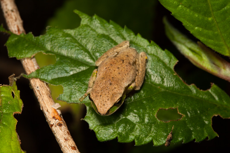 Litoria subglandulosa found in Cotton-Bimbang National Park along a small mountain creek.