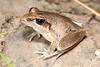 Litoria tornieri (Tornier's Frog), Kakadu National Park, Northern Territory