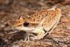 Wotjulum frog, Litoria watjulumensis at Gunlom pool, Kakadu