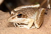 Litoria wotjulumensis (Wotjulum Frog)