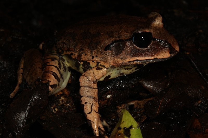 Mixophyes Fleayi (Fleay's Barred Frog). Found in Lamington National Park, Qld