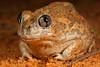 Neobatrachus centralis (Desert Trilling Frog)