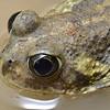 Neobatrachus pictus