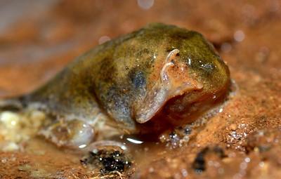 Neobatrachus pictus tadpoles