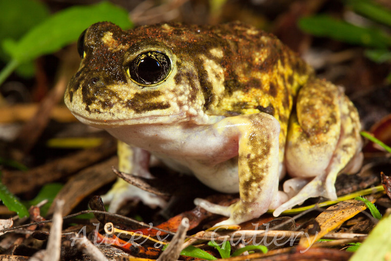 Neobatrachus pictus, (painted burrowing frog)