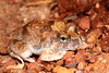 Platylectrum ornatum (Ornate Burrowing Frog), Cape York Qld