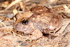 Platylectrum ornatum (Ornate Burrowing Frog), Kakadu