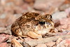 Opisthodon spenceri (Spencer's Burrowing Frog), West MacDonnell Ranges, NT