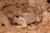 Opisthodon spenceri (Spencer's Burrowing Frog), found in the West MacDonnell Ranges, NT.