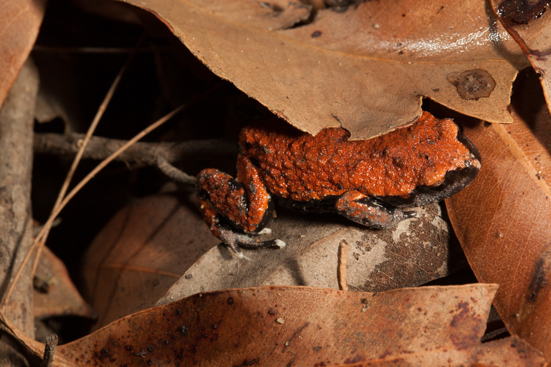 Pseudophryne coriacea (Red-backed Toadlet). Found in Watagans National Park, NSW.