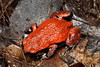 Pseudophryne coriacea (Red-backed Toadlet). Found calling in the rain under thick leaf litter in Watagans National Park, NSW