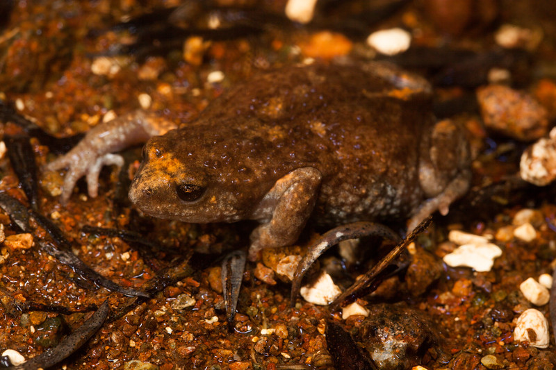 Found in a running creek/spring in the Tomkinson Ranges, APY Lands (frog 3)