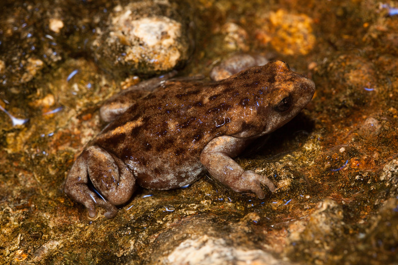 Found in a running creek/spring in the Tomkinson Ranges, APY Lands (frog 2)