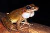 Rana daemeli (Water Frog), Iron Range NP, Cape York.