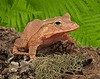 Solomon Island Leaf frog focus stacked edited flattened palm backgrounds