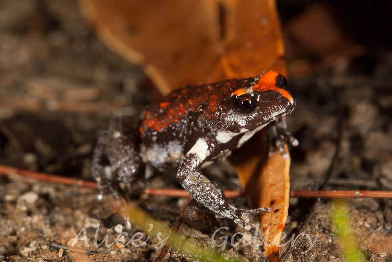 Pseudophryne australis (Red-crowned Toadlet) found in Yengo National Park.