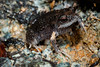 Pseudophryne major, Large Toadlet calling in the rain, Eungella NP - next to a large man-made pool in the mountains