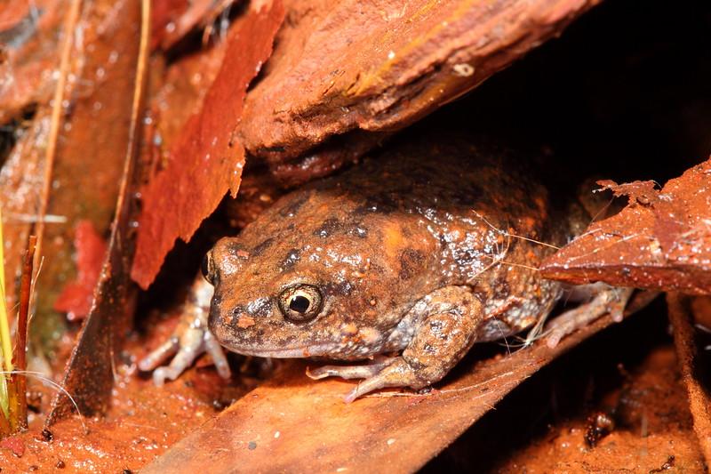 Pilbara Toadlet, Uperoleia saxatilis. Found in the reedy stream under decent-sized rocks at Millstream-Chichester NP, Pilbara