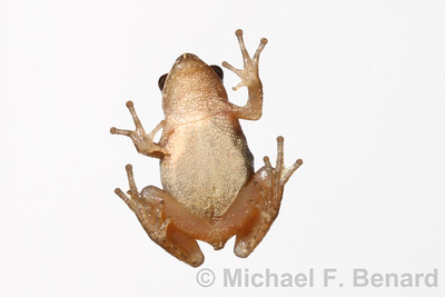 Identify sex of female spring peeper