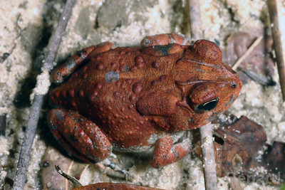 Southern Toad with a red color.