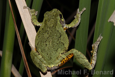 Gray Treefrog showing flash color on leg