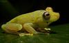 Hypsiboas cinerascens