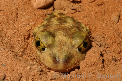 Couch's Spadefoot Toad burrowing in sand