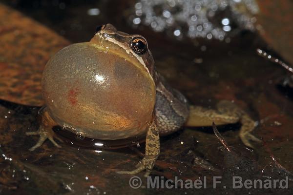 Calling Male Midland Chorus Frog