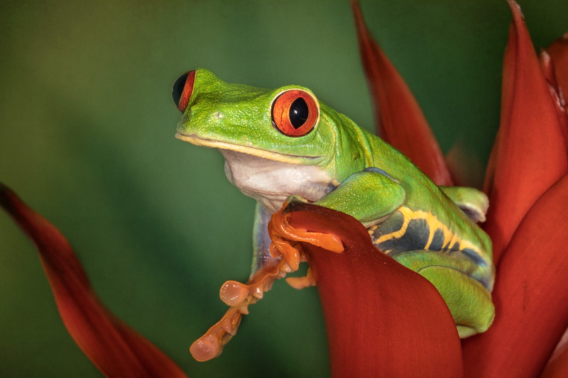 Red-Eyed Leaf (Tree) Frog (Agalychnis callidryas) captive