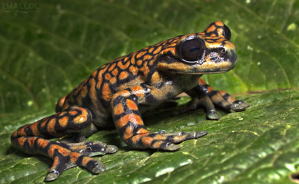 The frog prince (Hyloscirtus princecharlesi)