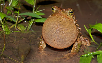Male toad singing (Rhinella alata)