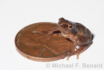 Baby Spring Peeper Next To Coin