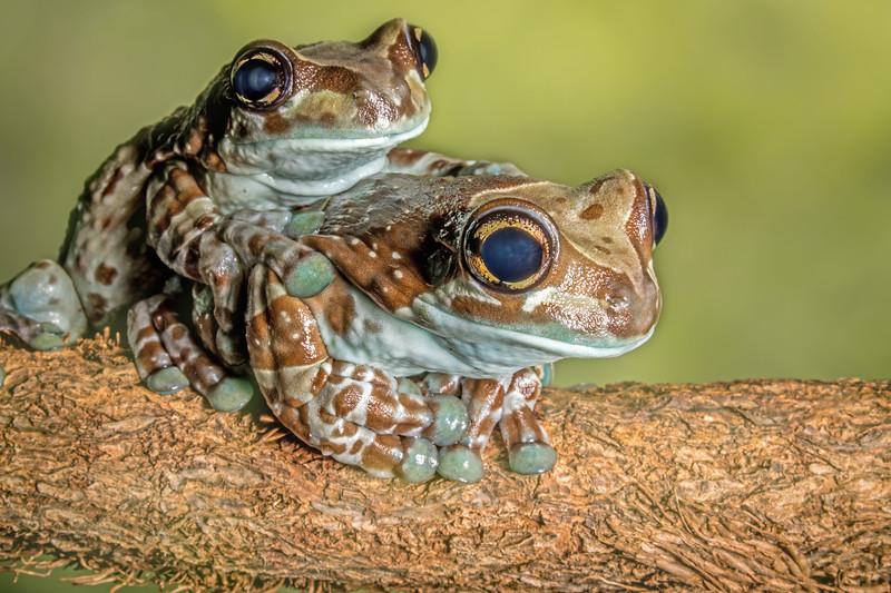 Amazon milk frogs (Trachycephalus resinifictrix) captive
