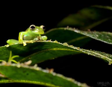 Kermit (Spadarana prosoblepon)