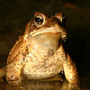 American Toad in Breeding Pond