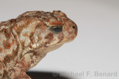 Blinking American Toad