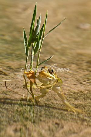 Frog Holding Grasses