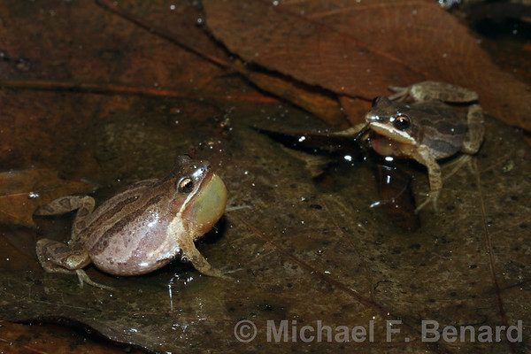 Two male Midland Chorus Frogs