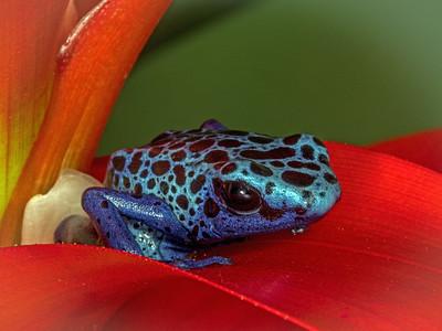 Blue poison dart frog (Dendrobates azureus), captive