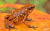 """Diablito"" the Devil's frog (Oophaga sylvatica)"