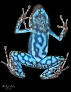 Ecuadorian poison frog ventral view