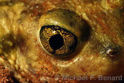 Close-up of Couch's Spadefoot Toad eyeball