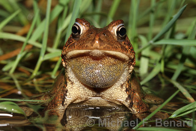 Male American Toad resting between calls