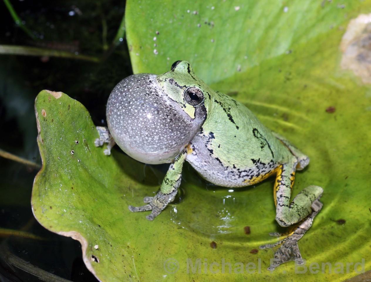 Treefrog Singing on Leaf