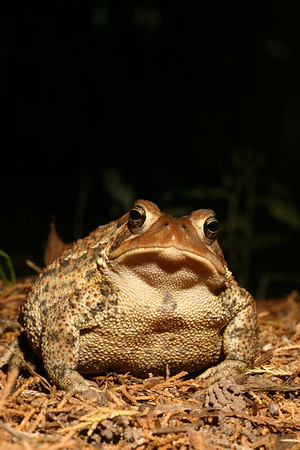 Portrait of a large American Toad
