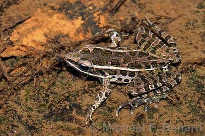 Pickerel Frog tries to hide