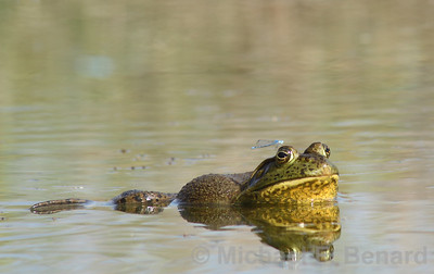 male Bullfrog with damselfly perched over eye.