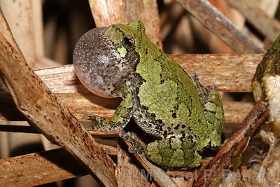 Gray Treefrog calling from dead cattail leaves.