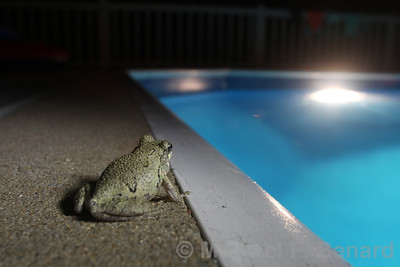Gray Treefrog by swimming pool
