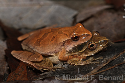 Mating Spring Peepers
